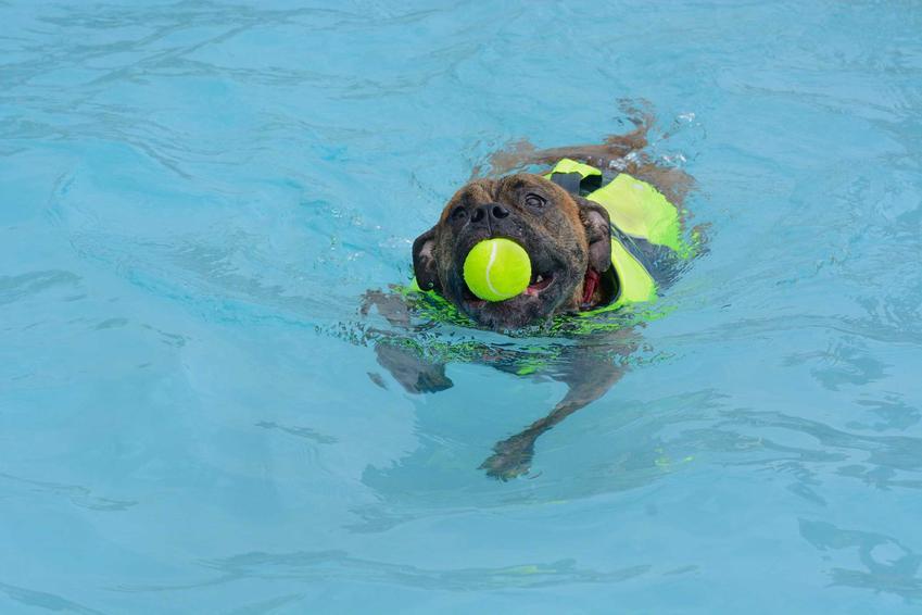 Pies pływający w specjalnej kamizelce, a także jak nauczyć psa pływania krok po kroku, porady dla właścicieli