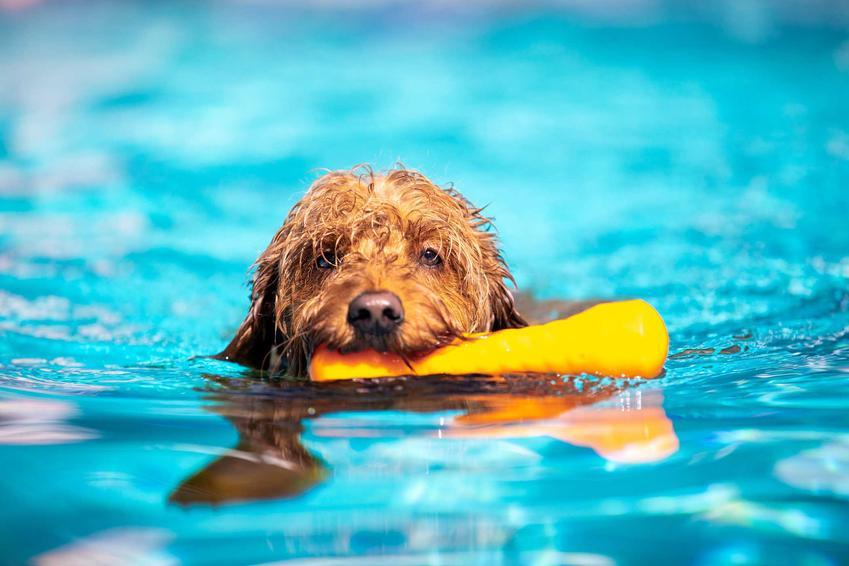 Pies pływający z zabawką w zębach, a także informacje, jak nauczyć psa pływania krok po kroku, czyli pływanie dla psów