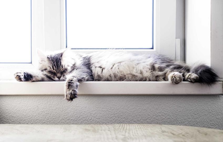Kot leżący na parapcecie cierpiący z powodu gorąca, a także udar cieplny u kota, objawy, przegrzanie, zapobieganie