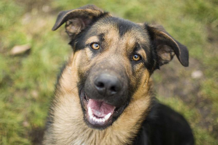 Pies, któremu śmierdzi z pyska, a także informacje, dlaczego psu śmierdzi z pyska, najczęstsze przyczyny, zapobieganie