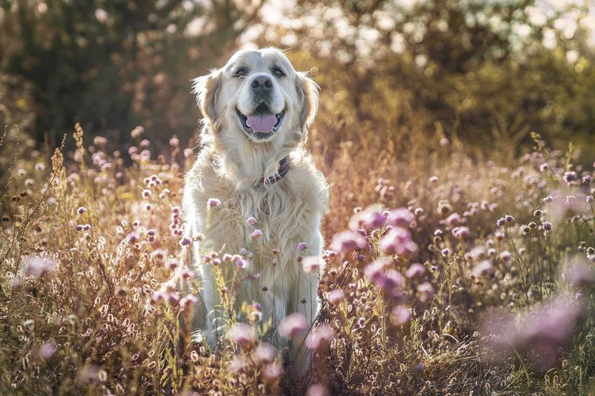 Pies siedzący na łące, a także wziewna alergia u psa krok po kroku, czyli objawy, leczenie oraz dieta