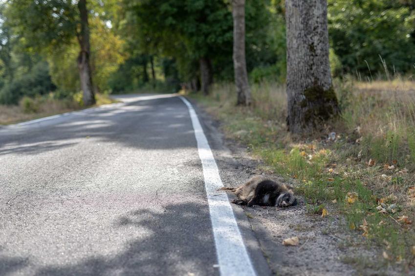 Martwe zwierzę leżące poza drogą na poboczu, a także co zrobić, jeśli mijasz martwe zwierzęta na drodze