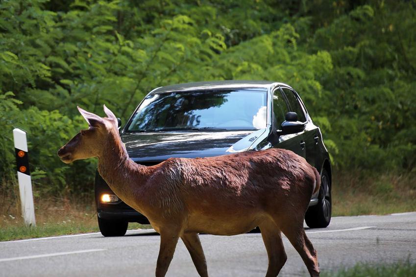 Łania przechodząca przez jezdnię, a także martwe zwierzęta na drodze krok po kroku, czyli co zrobić z martwym zwierzęciem