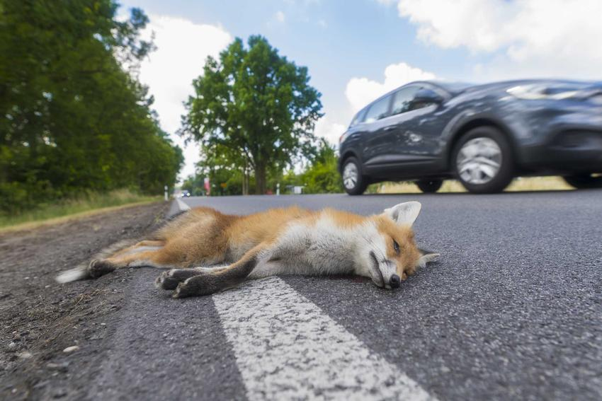 Martwy lis leżący na jezdni, a także martwe zwierzęta na drodze, co zrobić, jeśli zauważy się martwe zwierzę