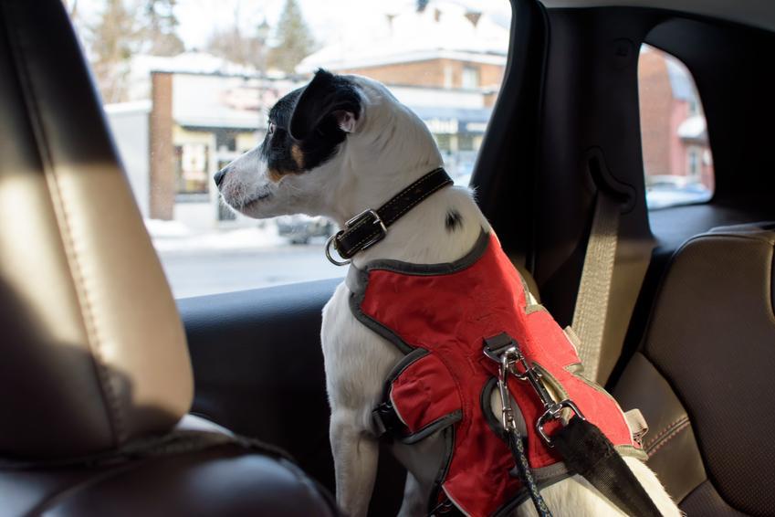 Pies w szelkach siedzący w samochodzie oraz jak wybrać szelki dla psa do samochodu