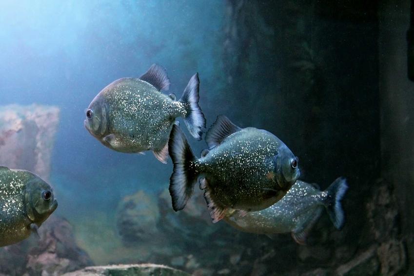 Piranie pływające w akwarium, a także występowanie piranii, niebezpieczeństwo oraz hodowla w akwarium