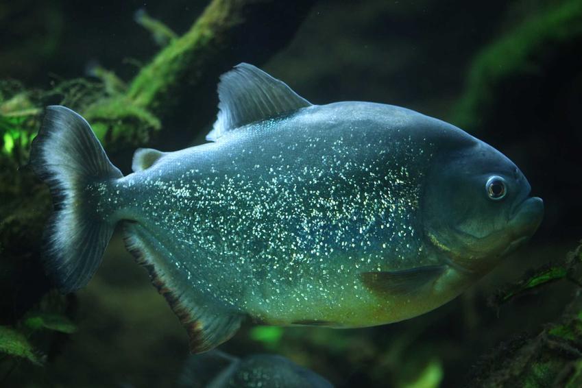 Pirania o złotych kropeczkach, a także występowanie piranii, najciekawsze gatunki i hodowla w domowym akwarium