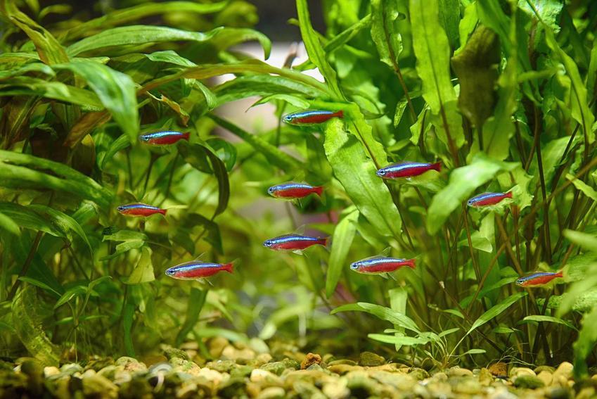 Neony czerwone pływające wśród roślin w akwarium, a także wymagania i pielęgnacja gatunku w domowych warunkach