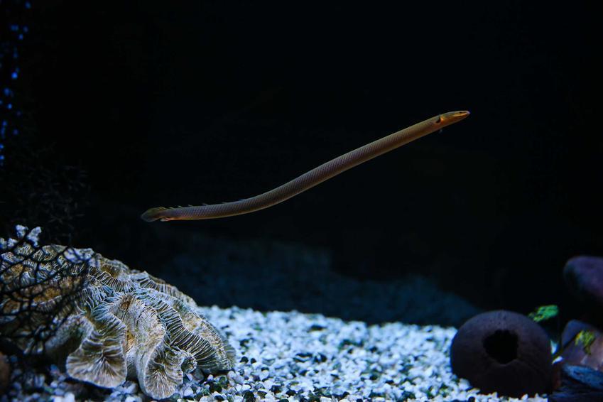 Trzciniak lub trzcinnik pływający w akwarium, a także opis gatunku, pielęgnacja, porady oraz wymagania tej zwinnej ryby