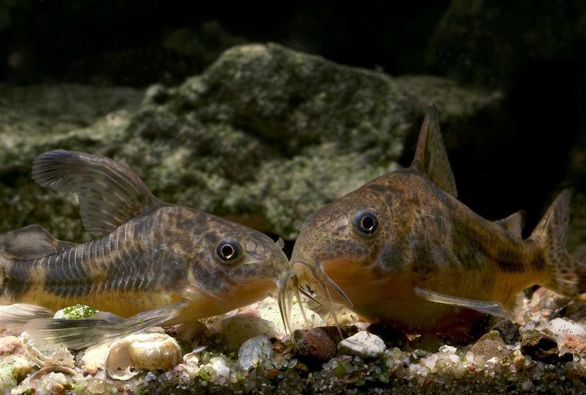 Kiryski pstre w akwarium, a także zdjęcia i opis gatunku, wymagania oraz pielęgnacja