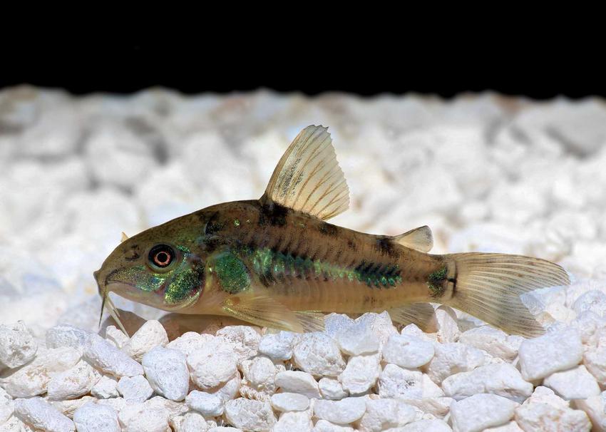 Kirysek pstry czyszczący podłoże w akwarium, a także opis i zdjęcia gatunku oraz pielęgnacja dla akwarystów