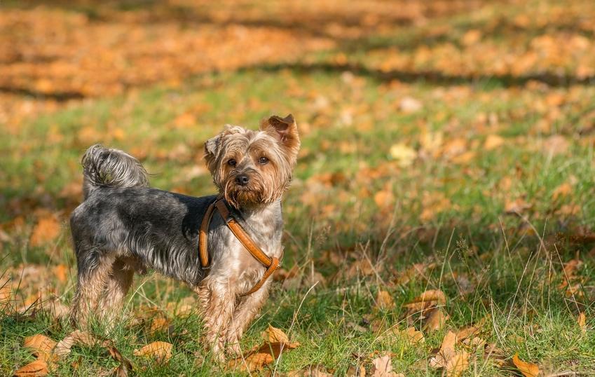Pies w szelkach podczas spaceru po dworze, a także szelki dla psa trixie i inne