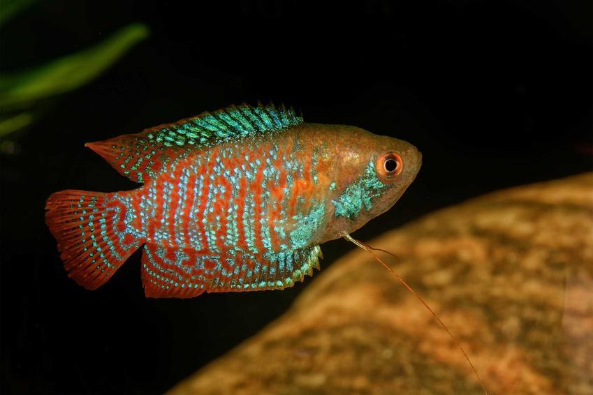 Prątnik karłowaty pływający w akwarium, a także opis gatunku, wymagania ryby w hodowli domowej