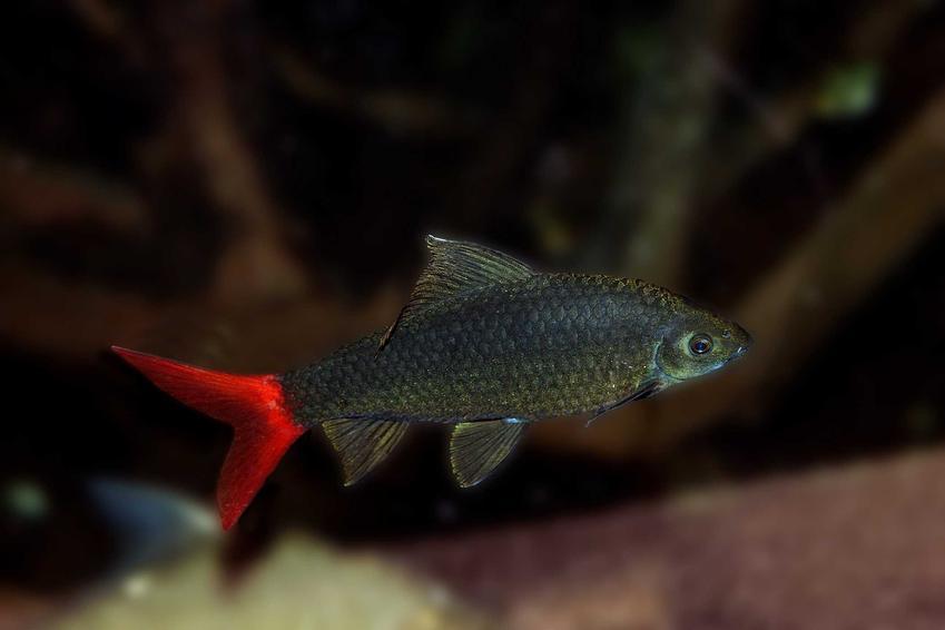 Grubowarg dwubarwny, inaczej labeo i jego opis, wymagania, wygląd oraz najważniejsze informacje o hodowli rybki