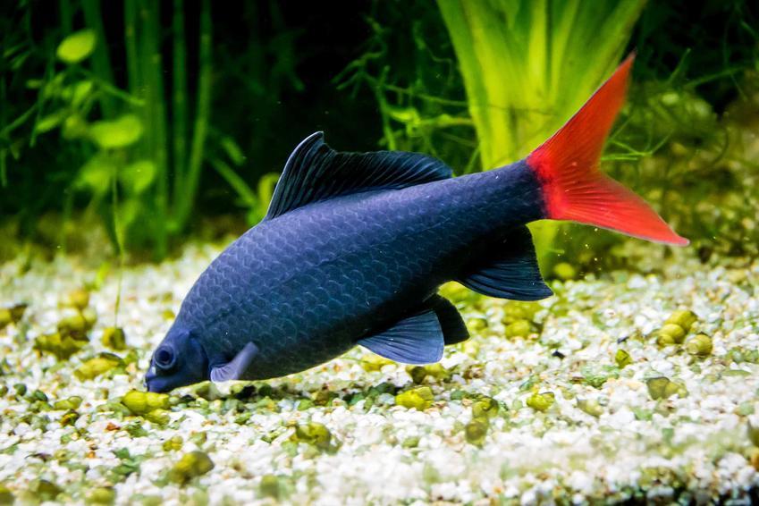 Grobowarg dwubarwny o czerwonym ogonku, a także informacje o hodowli, wymagani i pielęgnacja rybki