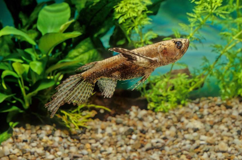 Motylowiec o dużym ogonie, czyli ryba motyl i jej pochodzenie, wymagania oraz zastosowanie
