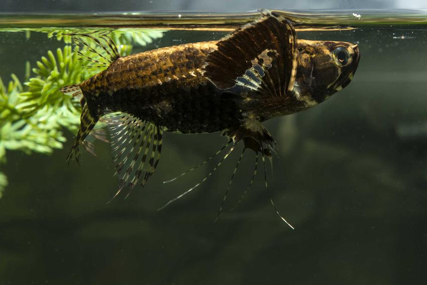 Motylowiec, czyli ryba motyl pływająca pod powierzchnią wody, a także pochodzenie gatunku, wymagania i hodowla