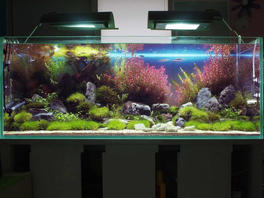 Cusaczek, inaczej przylga chińska w akwarium, a także opis gatunku, hodowala oraz porady dla akwarystów