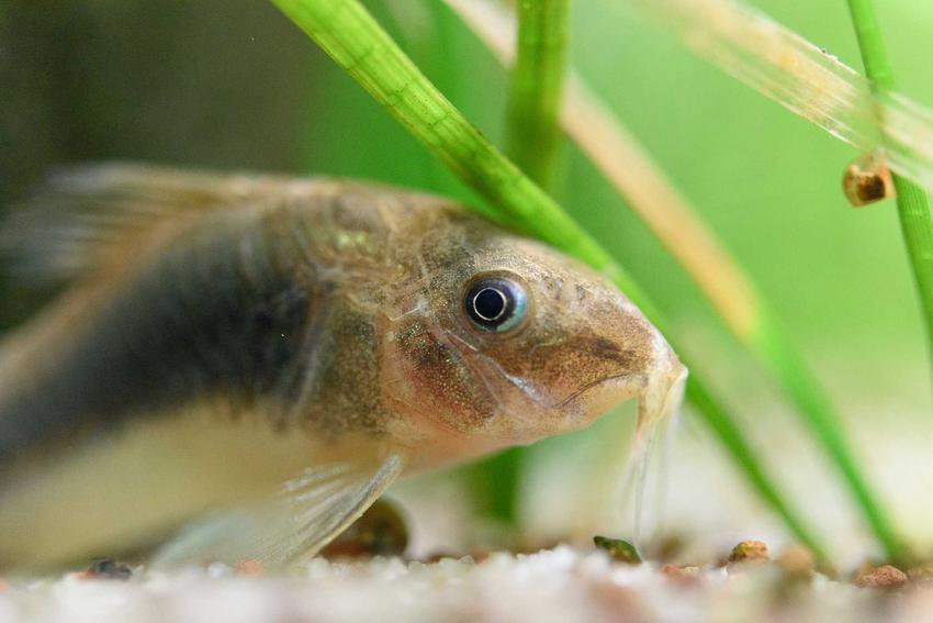 Kirysek spiżowy w akwarium pośród roślin, a także informacje o gatunku, hodowla, żywienie i rozmnażanie