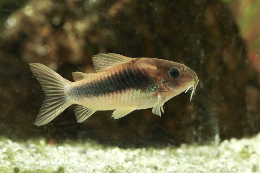 Kirysek spiżowy w akwarium, a także informacje o gatunku oraz wymagania hodowalne i pielęgnacja