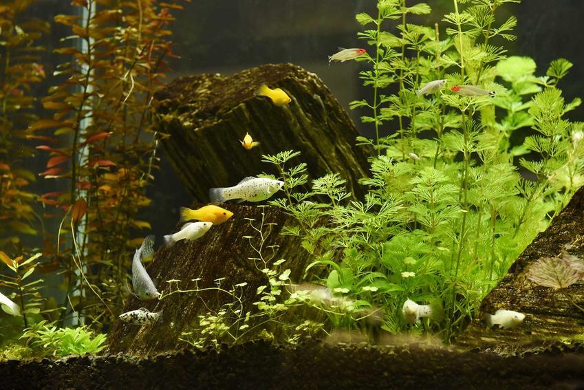 Mykobakterioza ryb w akwarium, a także objawy choroby, zapobieganie oraz leczenie antybiotykami