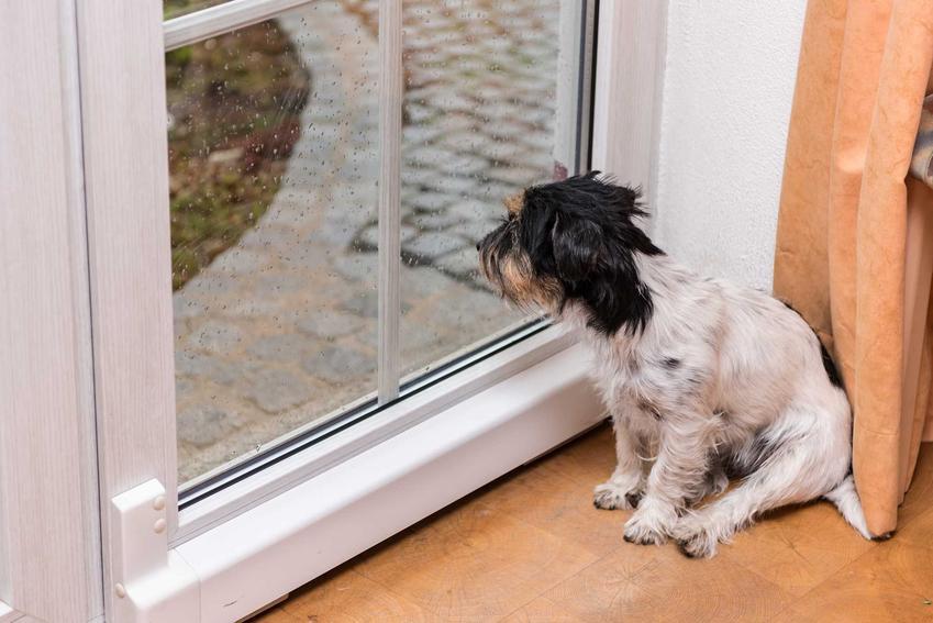 Pies wyglądający przez okno na deszcz, a także co zrobić, jeśli pies boi się burzy, najlepsze metody
