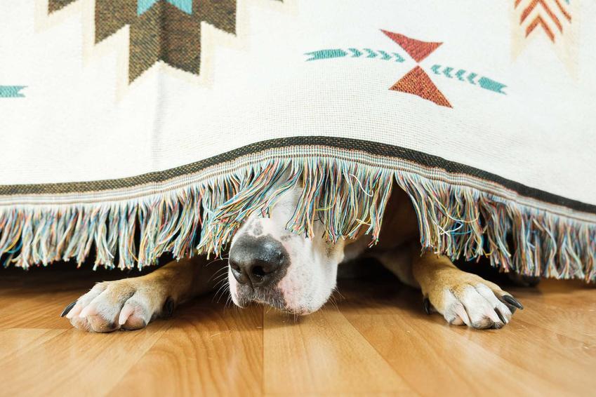 Pies schowany pod łóżkiem ze strachu przed burzą, a także co zrobić, gdy pies boi się burzy, najważniejsze informacje i podpowiedzi