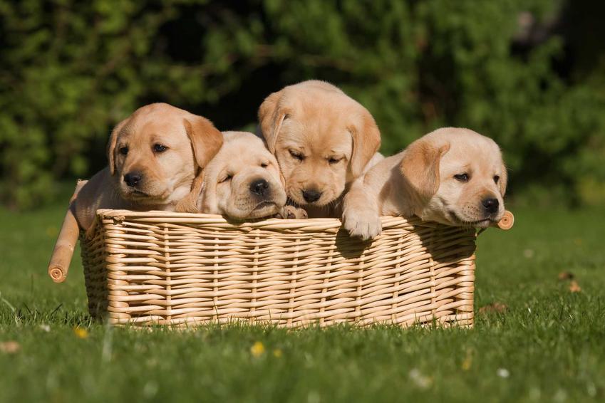 Szczeniaki z hodowli w koszyku, a także informacje, czy kupić czy adoptować psa - plusy i minusy