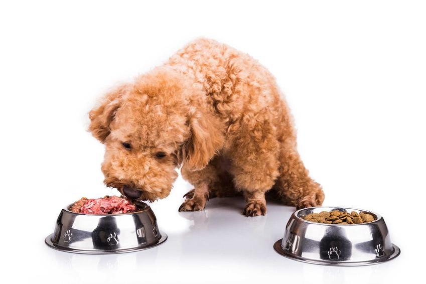 Pies wąchający jedzenie z miski, a także rola węchu i smaku u zwierząt podczas jedzenia i wybierania pokarmów