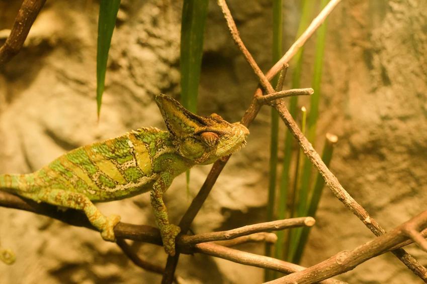 Kameleon w terrarium, a także hodowla kameleona w domu krok po kroku, najważniejsze informacje oraz porady dla właścicieli