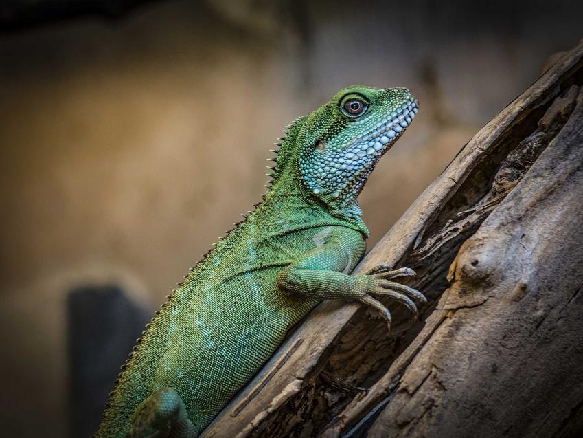 Kameleon w hodowli w terrarium, a także hodowla kameleona w domowych warunkach, porady, informacje, ceny