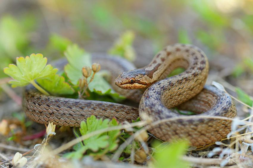 Wąż gniewosz, który pojawia się w faunie Polski, a także najczęściej spotykane polskie gatunki węży