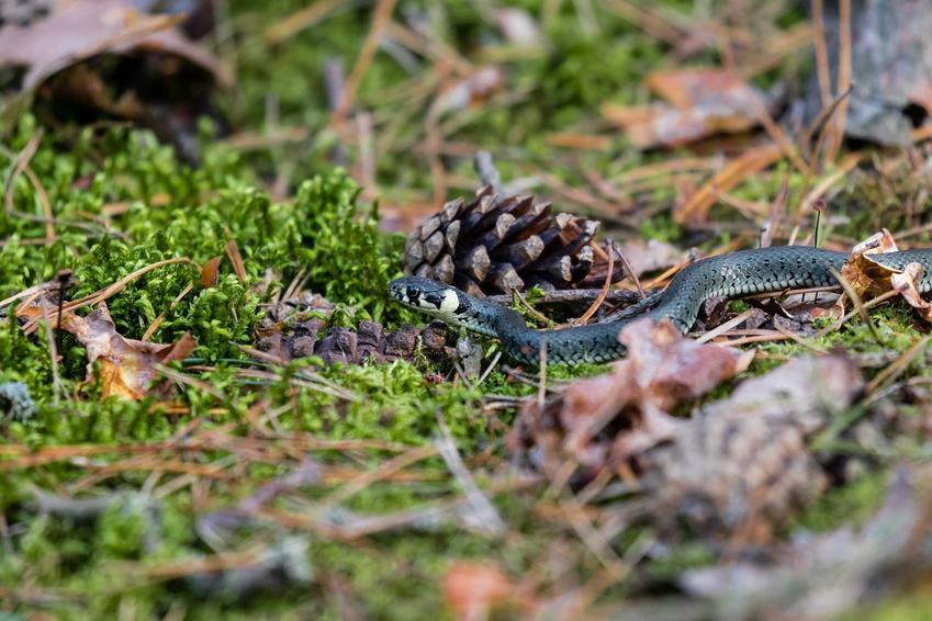 Zaskroniec zwyczajny i inne węże, które można spotkać w Polsce, czyli gatunki węży typowe dla Polski