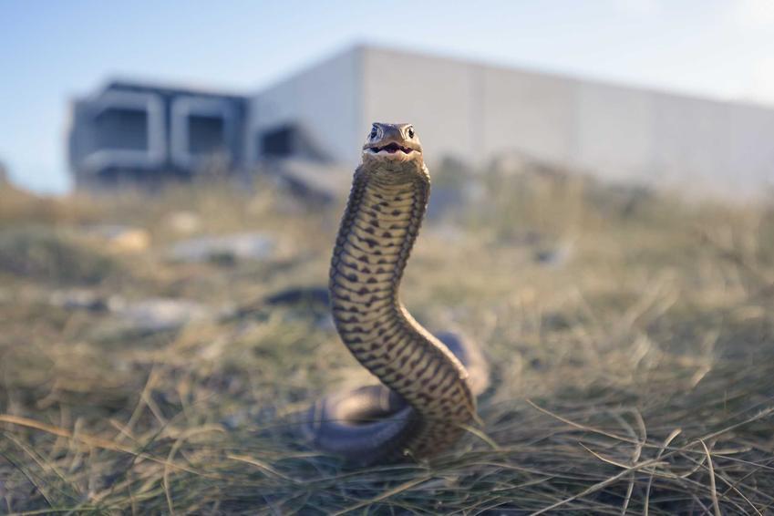 Nibykobra siatkowata, ogromnie niebezpieczny wąż jadowity, a także TOP 10 węży najbardziej jadowitych