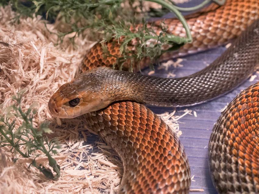 Tajpan australijski, jadowity wąż, a także przegląd TOP 10 gatunków jadowitych węży