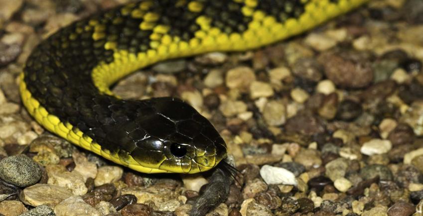 Wąż tygrysi, bardzo niebezpieczny i jadowity wąż, a także TOP 10 jadowitych węży
