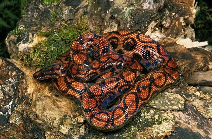 Wąż boa tęczowy o ciekawym kolorze, a także opis, występowanie, karmienie oraz hodowla