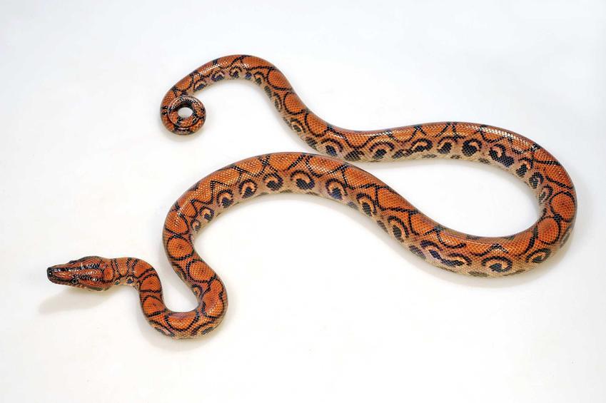 Boa tęczowy, wąż hodowlany oraz występowanie, hodowla oraz opis gatunku krok po kroku