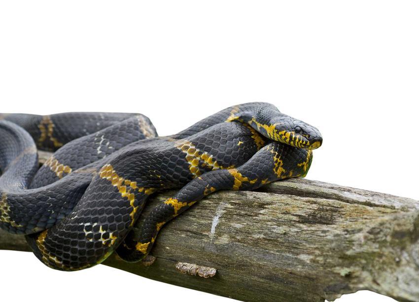 Wąż amurski na konarze w terrarium, a także hodowla gatunku, rozmnażanie oraz występowanie w naturze