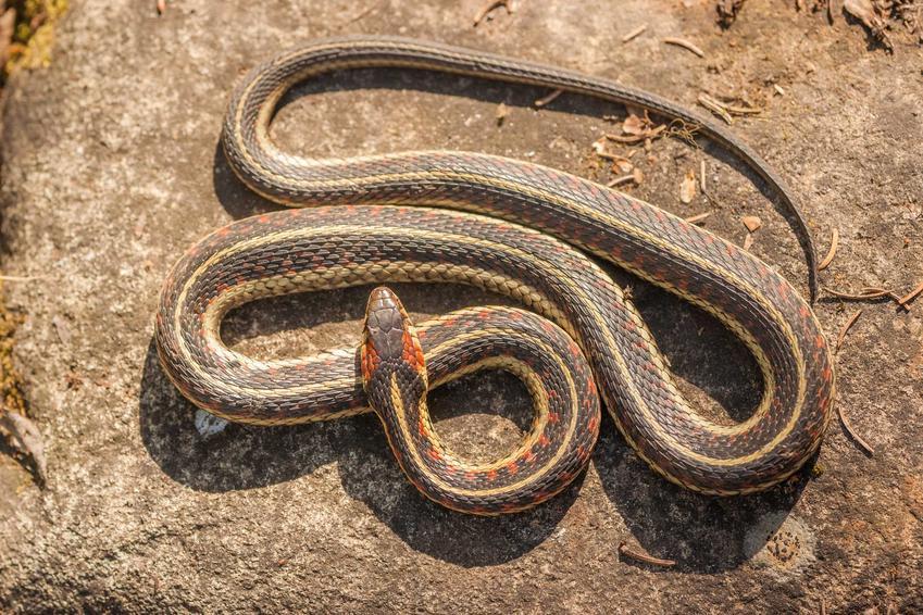Szary wąż pończosznik na skale, a także opis gatunku i usposobienia węża i wymagania w hodowli w domu