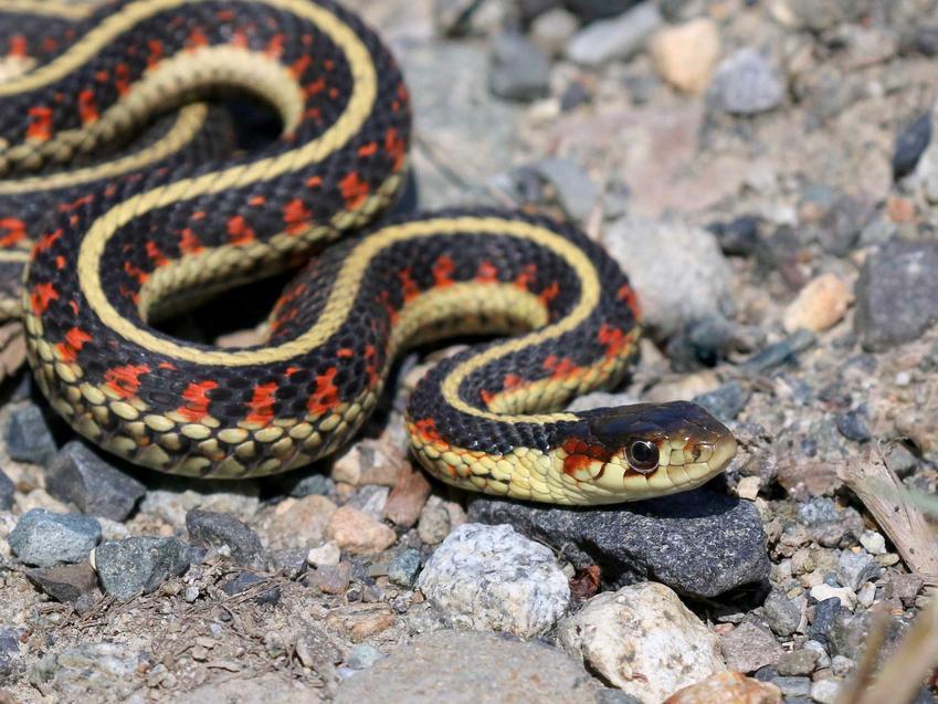 Wąż pończosznik na kamieniach oraz jego opis, usposobienie, wymagania i hodowla krok po kroku
