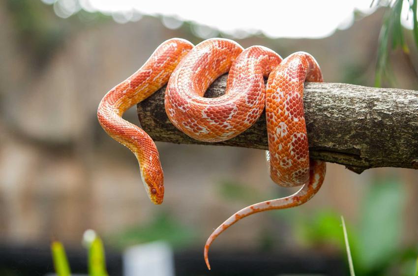 Wąż zbożowy owinięty wokół konaru, a także opis gatunku, występowanie oraz hodowla i jego żywienie