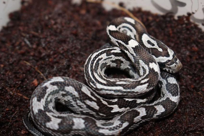 Wąż zbożowy w terrarium, a także opis gatunku, rodzaje oraz hodowla krok po kroku w warunkach domowych