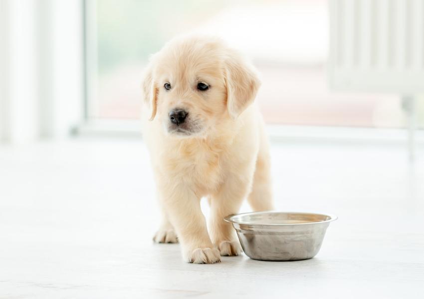 Biały szczeniak przy misce z jedzeniem oraz porady, jak często karmić szczeniaka