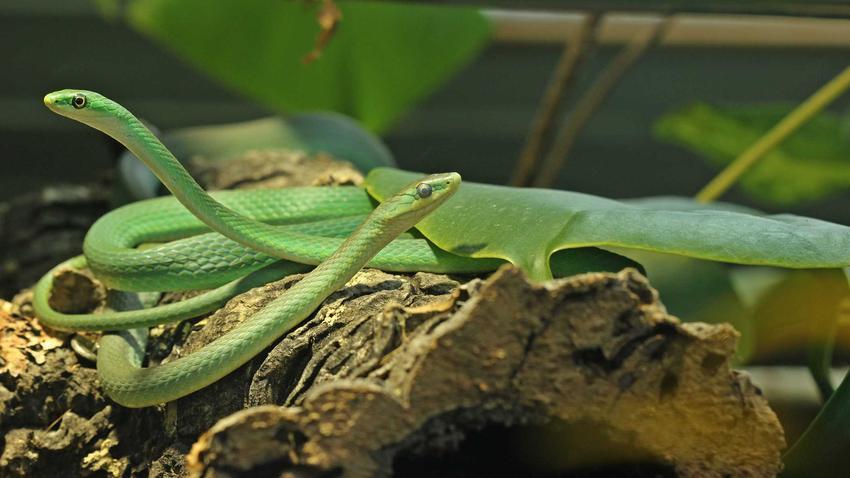 Węże w terrarium, a także przygotowanie wyposażenia do terrarium dla węży, wymagania i akcesoria