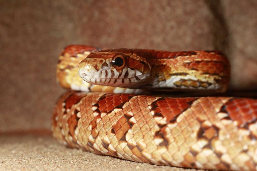 Wąż zbożowy w terrarium, a także informacje, jak ajest cena węża zbożowego do hodowli w domu