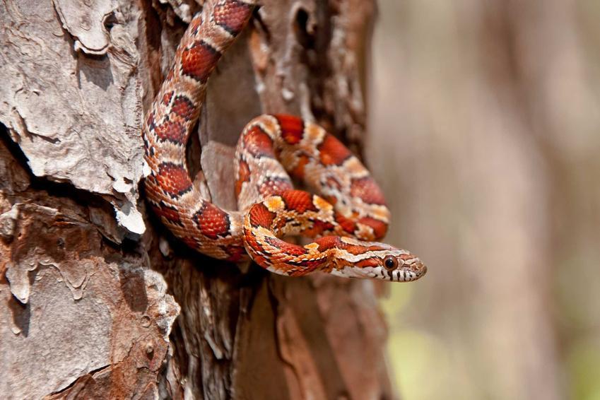 Mały wąż zbożowy na pniu drzewa, a także informacje, ile kosztuje wąż zbożowy do hodowli w domu