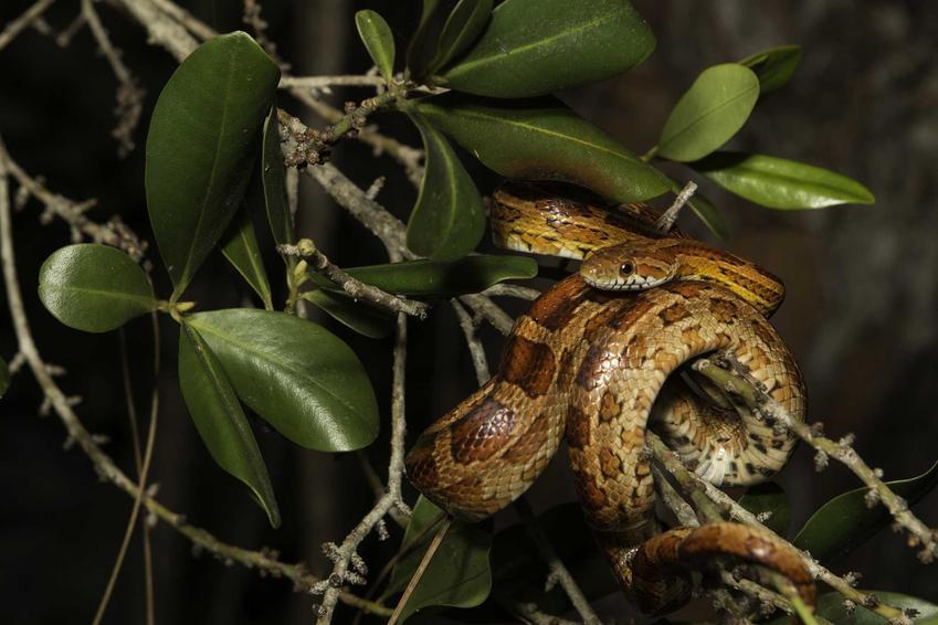 Wąż zbożowy w terrarium na roślinach, a także podpowiedzi dla hodowców, jak przygotować terrarium dla węża zbożowego