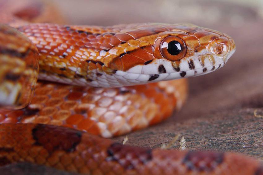 Wąż zbożowy o czerwonej skórze, a także popularne odmiany węża zbożowego oraz jego opis i zdjęcia
