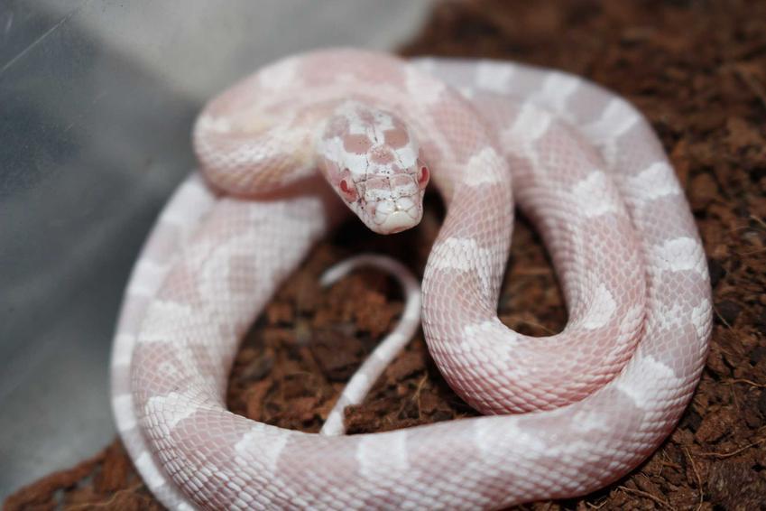 Wąż zbożowy Snow o białym ciele, a także inne popularne odmiany węża zbożowego oraz ich opis